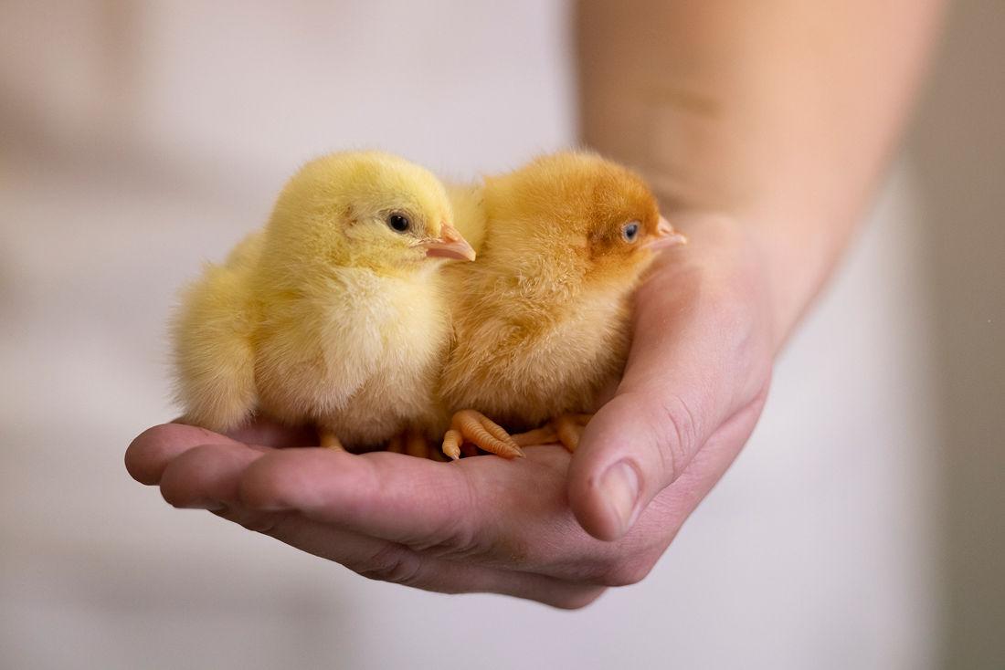 Vi har signert European Chicken Commitment