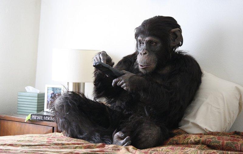 Rachel Mayeri: Stillbilde fra Primate Cinema: Apes as Family, 2012, 22 minutter. Skuespiller: Denise Pearlman. Tokanals installasjon. Gjengitt med tillatelse fra kunstneren. Verket vises i utstillingen Et Nytt Vi på Trondheim Kunsthall fram til 22. desember.