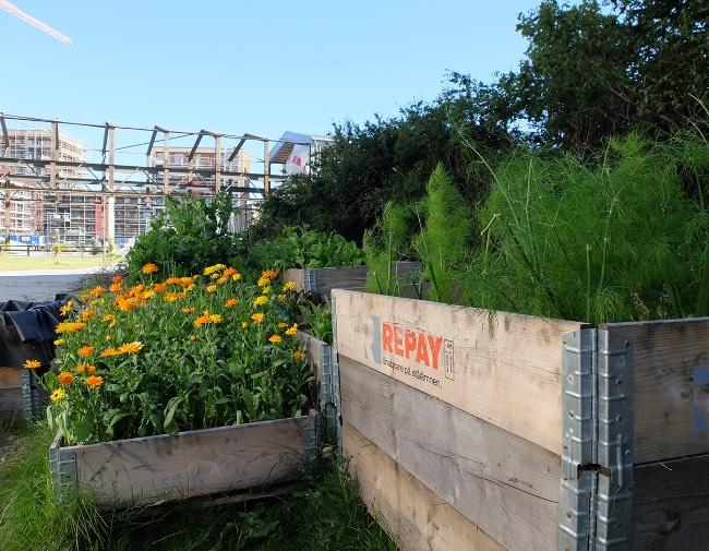 Urban dyrking med Lilleby Hagelag